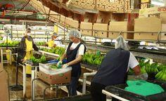 Obreros encajan bananos para la exportación en una finca de La Lima. Honduras: Empresarios de Latinoamérica y El Caribe conocen Plan 20/20 http://www.laprensa.hn/economia/1043089-410/empresarios-de-latinoamérica-y-el-caribe-conocen-plan-2020