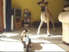 10min video but it's so funny and precious!!!!  Great Dane and a cat, best friends.