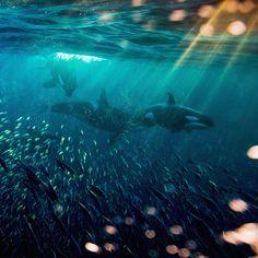 Orcas hunting Herring