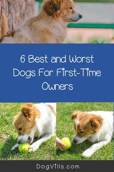 Are you wondering about the best and worst dogs for first-time owners?    While all dogs make lovely pets, some sensitive breeds or hard to train ones can be a handful for an inexperienced dog owner. Best Large Dog Breeds, Best Small Dogs, Most Popular Dog Breeds, Best Dog Breeds, Best Dogs, All About Puppies, Best Guard Dogs, Companion Dog, Puppy Eyes