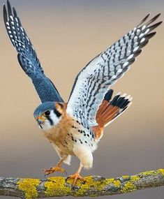 Just a Wee Cutie . ~ Kestrel Hawk is one of North America's smallest bird-of-prey or raptors. Pretty Birds, Love Birds, Beautiful Birds, Animals Beautiful, Birds 2, Angry Birds, Exotic Birds, Colorful Birds, Tropical Birds