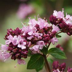 Balkon-blumen: Retter Für Bienen, Hummeln Und Schmetterlinge ... Blumen Schmetterlinge Im Garten