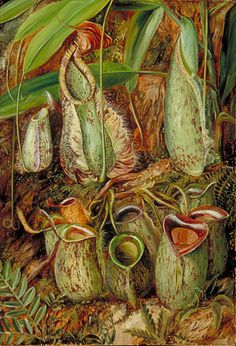 Other species of Pitcher Plants from Sarawak, Borneo