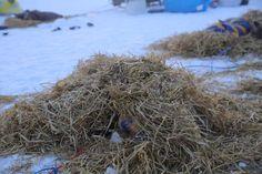 Dog on Hugh Neff's team sleeping in Huslia under a warming pile of straw.