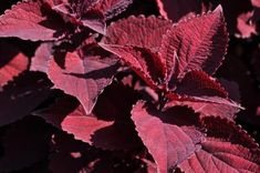 """AAS Winner Coleus Main Street Beale Street was trialed in Colorado State University Trial Gardens in 2020 and was named one of 2020 """"Best Of"""" Annuals. """"A multi-year winner due to it rich, velvety burgundy leaf color which provided color to the garden all season long. Plant vigor was excellent while also maintaining a very uniform growth habit. Flowers were virtually non-existent. Plants performed great in both the ground and containers,"""" stated the judges at this annual trial. Colorado State University, Leaf Coloring, Street Names, Judges, Leaf Shapes, Main Street, Container Gardening, Maine, Pots"""