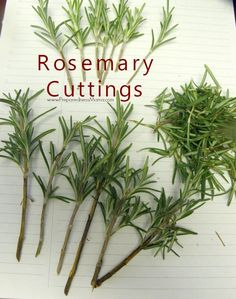 Rosemary cuttings ready for growing medium | PreparednessMama