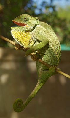 Chameleon (1) by Eugene van der Watt, via 500px
