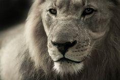 ライオン, 動物の肖像画, アフリカ, サファリ, 野生動物, 動物
