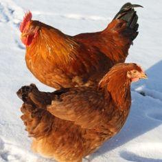 Sagitta dual purpose breed | Gardening | Pinterest | A well, Nice ...