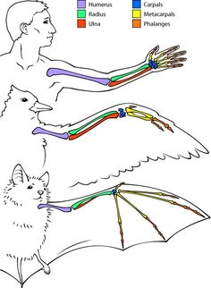 Google Image Result for http://askabiologist.asu.edu/sites/default/files/resources/articles/bats/homology_550.jpg