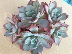 Image of Echeveria Aullensis Growing Succulents, Cacti And Succulents, Planting Succulents, Outdoor Gardens, Indoor Outdoor, Outdoor Ideas, Succulent Gardening, Succulent Planters, Dish Garden