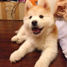 Incredible Dog Crossbreeds - Chusky - Chow Chow and Husky Cute Puppies, Cute Dogs, Designer Dogs Breeds, Dog Crossbreeds, Most Popular Dog Breeds, Dog Activities, Puppy Pictures, Puppy Pics, Mother Nature