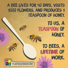 """8 Likes, 1 Comments - Travis Hinkley (@vegan_4_a_reason) on Instagram: """"Bees play a vital role in the workings of our ecosystem! . A worker bee lives 40 days, and makes a…"""""""