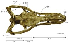 The craniofacial skeleton of a subadult Albertosaurus libratus seen in dorsal view, © Dino Pulerà. Labels emphasize the overall structure of the skull and are explained at the website //Carbon dust plate by Mr. Dino Pulerà. Tyrannosauroidea central: June 2013