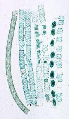 Spirogyra sexual conjugation  K: Protista  P: Chlorophyta  G: Spirogyra