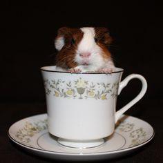 guinea pig in a tea cup