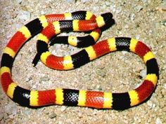 Coral snakes are easy to spot by their distinctive coloring. They have alternating, red, yellow, and black bands. Did you get that? Red and yellow are touching each other, meaning this bad boy is poisonous. Be on the look out. There are counterfeit corals that have alternating red, black, and yellow bands. These aren't poisonous. Coral snakes are shorter than other venomous snakes. They average about 40 inches and have smaller mouths and fangs.