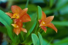 Learn how to grow and bloom cattleya orchids, including tips for watering, feeding, and repotting this beautiful flower. Orchids In Water, Orchids Garden, Orchid Plants, All Plants, Flowering Plants, Potted Plants, Cattleya Orchid, Cymbidium Orchids, Exotic Flowers