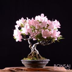 皐月の小品盆栽 SATSUKI azalea shohin-bonsai 撮影 bonsai on the rock bonsai on the rock bonsai on the rock Cherry Bonsai, Bonsai Fruit Tree, Flowering Bonsai Tree, Japanese Bonsai Tree, Bonsai Tree Types, Indoor Bonsai Tree, Bonsai Plants, Bonsai Garden, Wisteria Bonsai