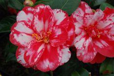 Camellia Donckelarii