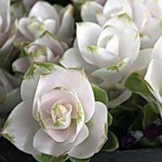 Curcuma alismatifolia 'Maejo New White'