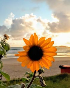Sunflower Flower, Sunflower Fields, Sunflowers, Rio, Dandelion, Plants, Instagram, Wall, Flowers