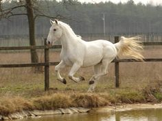 Indigenous domestic animals - Lipizzaner horse - Hungary