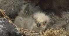 Baby Bald Eagle, Animals, Animales, Animaux, Animal, Animais