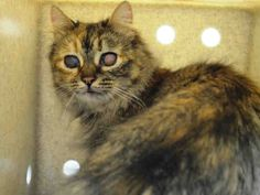"""POLLY - A1036998 - - Brooklyn  *** TO BE DESTROYED 05/27/15 *** SHY POLLY IS HERE WITH HER FRIENDS PINTO AND PENNY BECAUSE HER OWNER PASSED….She has some special needs but nothing that will prevent her from becoming a loving companion….""""Polly's eyes are scarred due to perinatal infection with rhintracheitis virus the nystagmus and head bobbing is likely secondary to nerve damage from this infection as well. the eyes are """"quiet""""–this is not an ongoi"""
