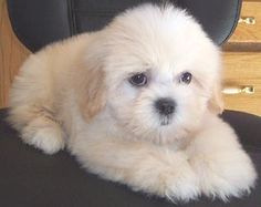 Renee's Wonderful World of the Teddy Bear Puppy™ - Genuine ATBA Teddy Bear Puppies™. Teddy Bear Puppy or Shichon. Half shih-tzu and half bischon frise Puppies For Sale, Cute Puppies, Cute Dogs, Dogs And Puppies, Adorable Babies, Teddy Bear Puppies, Bear Puppy, Bear Dogs, Teddy Bears