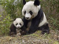 Панда и малыш