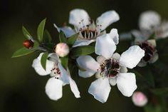 Les propriétés du miel manuka