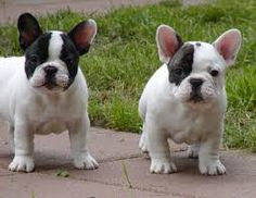 pied french bulldog - Google Search