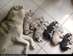 sweet-husky-puppies
