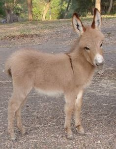 Miniature Donkeys at Low-Down Donkey Outfit