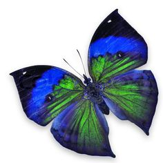 'Blue and green butterfly