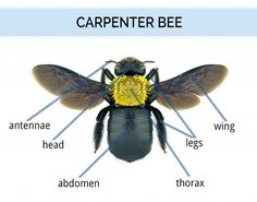 Carpenter Bees Sting #carpenterbees #bumblebees