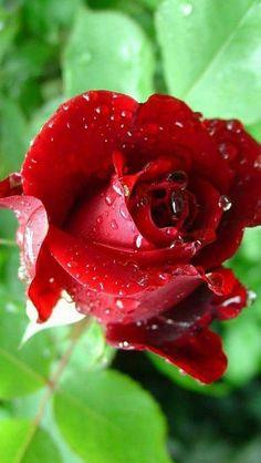 Beautiful Rose Flowers, Pretty Roses, Beautiful Gardens, Beautiful Flowers, Rose Images, Rose Pictures, Purple Roses, White Roses, Rose Care
