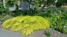 l'hakonéchloa doré (Hakonechloa macra 'Aureola'). Cette graminée d'origine japonaise est remarquable à bien des égards. D'abord, même si elle tolère le soleil, c'est essentiellement une plante de mi-ombre. Cela est exceptionnel parmi les graminées ornementales qui sont presque toutes des plantes de plein soleil
