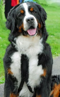 Berner posing at the National; Bermese Mountain Dog, Mountain Dogs, Lap Dogs, Dogs And Puppies, Baby Animals, Cute Animals, Cute Dogs Breeds, Working Dogs, Mans Best Friend