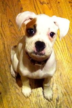 Little White Boxer  that is just 2 cute.