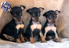 Eddie – Miniature Pinscher Puppies for Sale in PA | Keystone Puppies