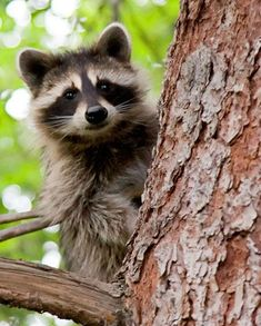 Image result for raccoon sitting