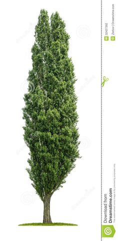 poplar tree - Google Search