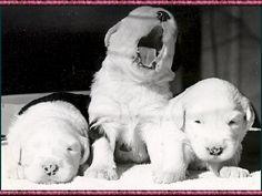 Pets 4 You - Dandalion Old English Sheepdog Website, Established 1967