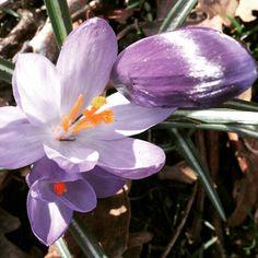 Purple crocuses. RaeBattesonArt