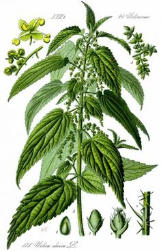 Stinging Nettles (Nettles need to be foraged before they have gotten knee high or have begun flowering, usually late winter/early spring depending on elevation) Incredibly nutritious, mineral rich! Great in teas, soups, and in any recipe as a spinach sub (lasagne, etc)