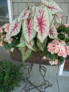 Another caladium/begonia combo.