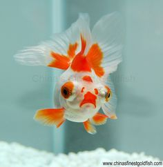 Butterfly goldfish