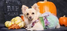 Halloween Dog Costumes Go Hollywood
